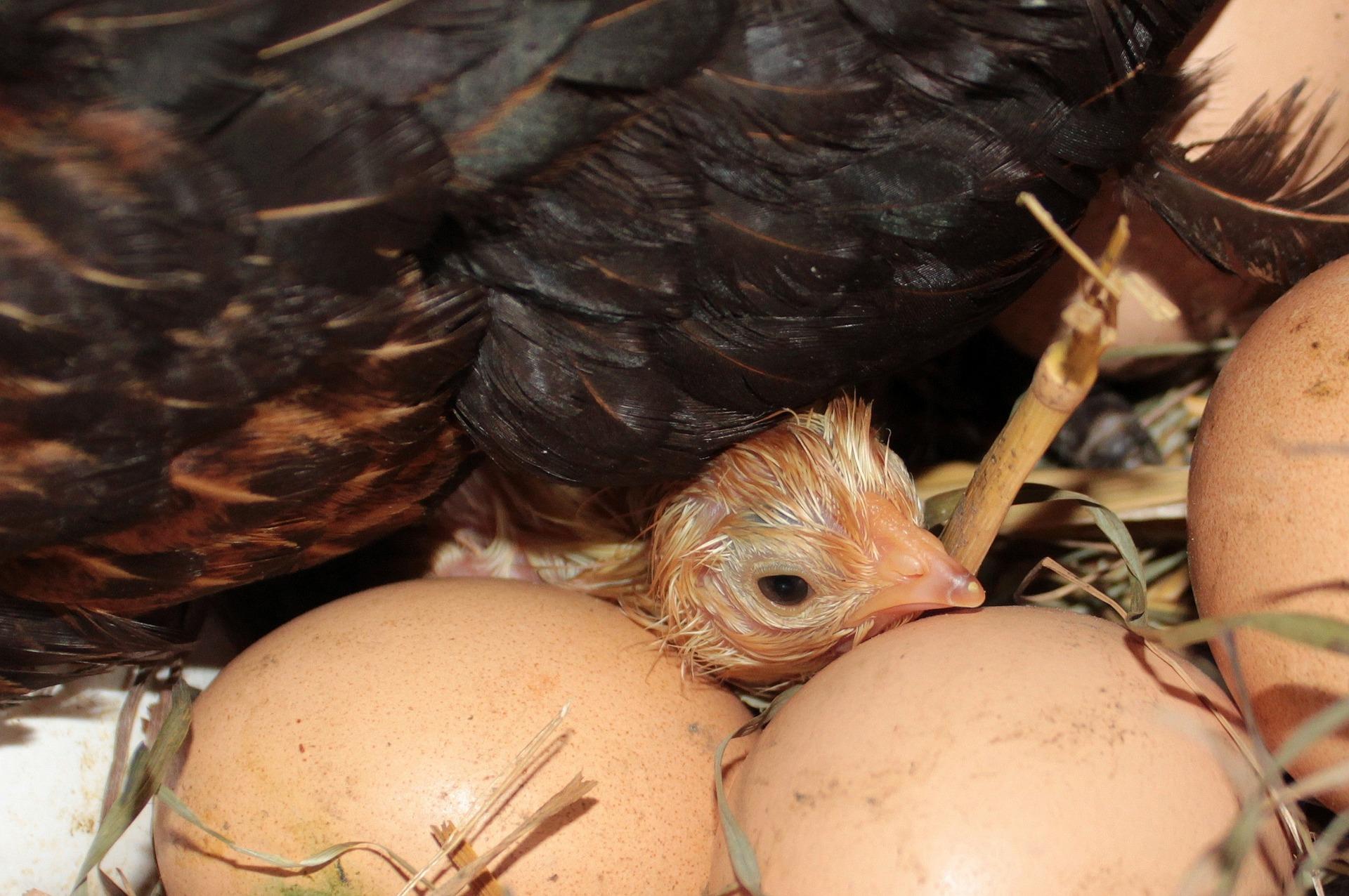 chicks-1427402_1920