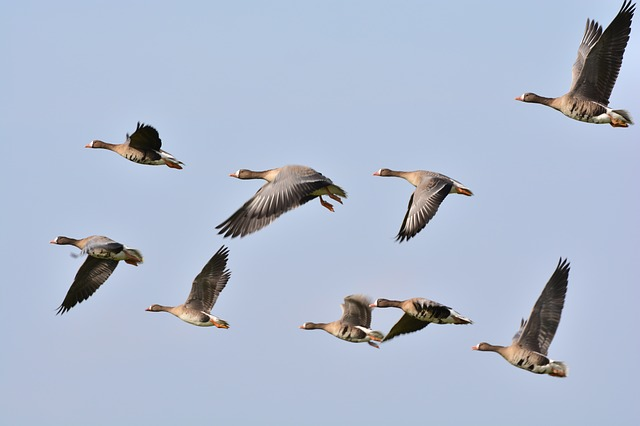 wild-geese-278987_640