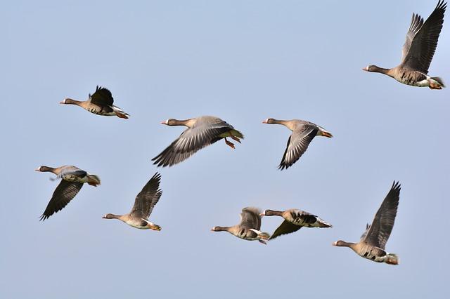 育才41-5 wild-geese-278987_640