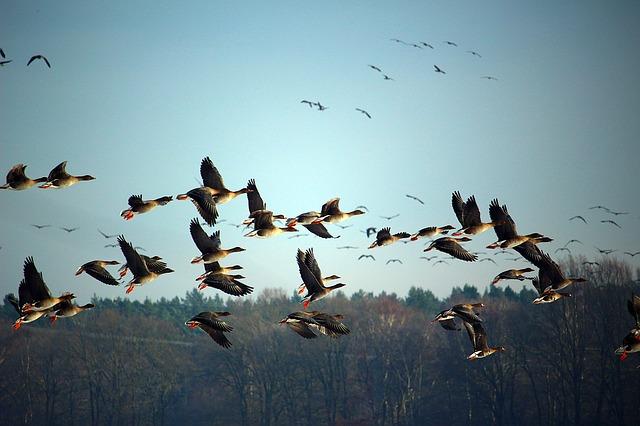 育才wild-geese-1149609_640